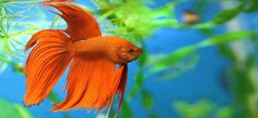 los peces de agua dulce o tropicales