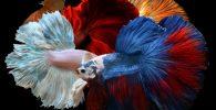 pez betta caracteristicas