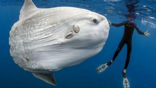 pez lunael mas grande del mundo