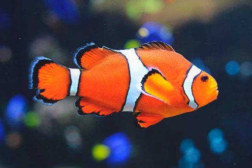 pez payaso caracteristicas