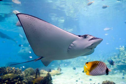 pez raya caracteristicas