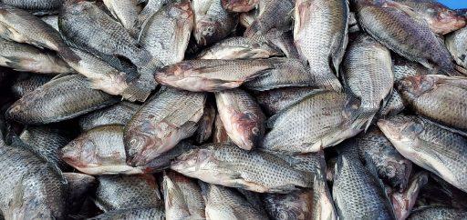 extincion de peces